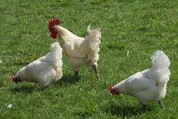 Hahn & glückliche Hühner.