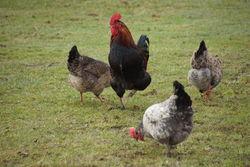Herr Hahn und seine Hühner.