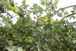 Apfelbaum auf der Streuobstwiese des Biohofs.